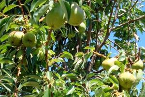 John's pears.