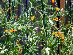 John's Sun Gold Cherry Tomatoes.