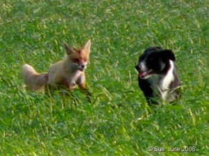 The Fox and the Border Collie