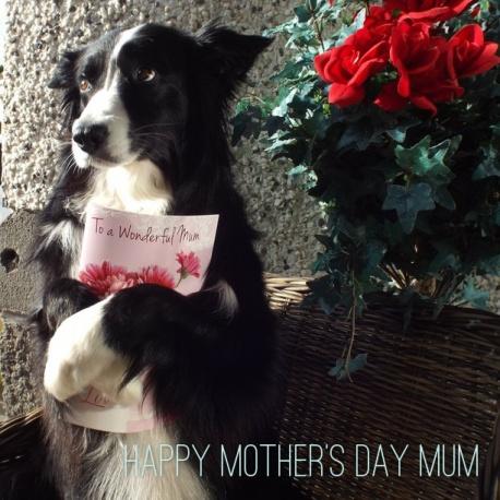 Mothersdaybordercollie
